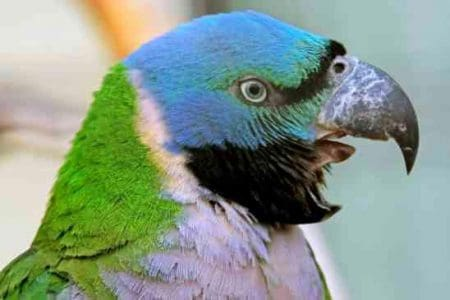 Head shot screaming mustached parakeet