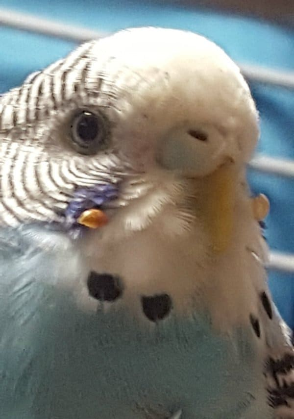 blue white budgie parakeet seed husks stuck to face