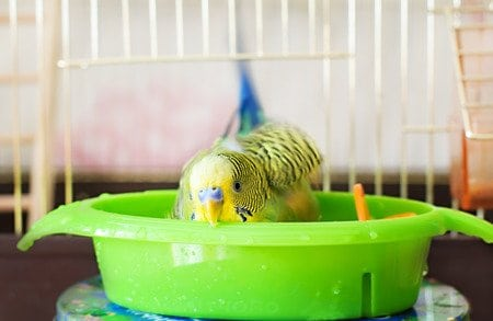 budgerigar budgie bathes in water