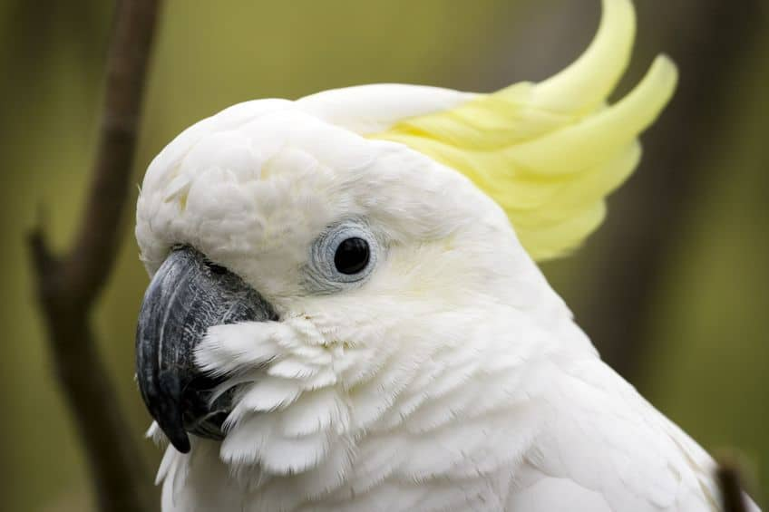 How To Stop An Elenora Cockatoo Plucker And A Screaming Citron Cockatoo