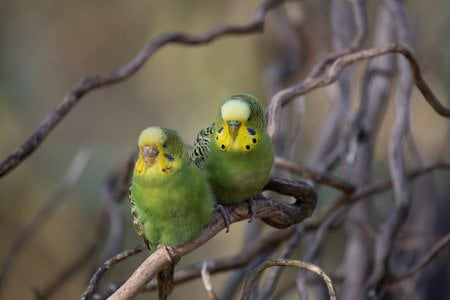Problematic budgies (budgies weigh the same as 2 Reese's peanut butter cups – btw) Help!