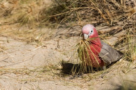 How do I encourage a Galah, that's been on seed-only, to eat pellets veggies and fruit?