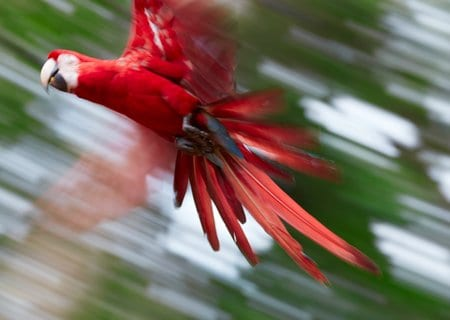 Abstract photo of flying scarlet macaw parrot. Out of focus