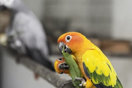Two lovely sun conure parrots bird on the branch eating their food