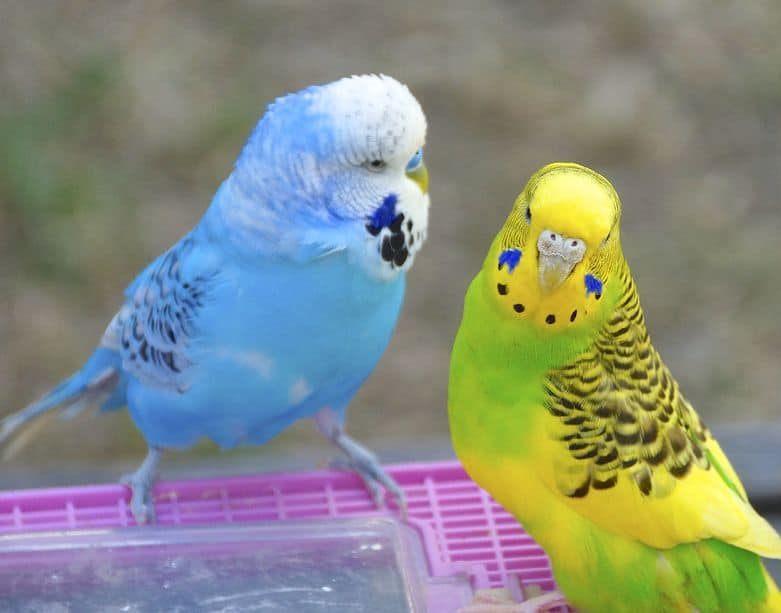 Should My Budgies Nap Early So They Can Stay Up Late?