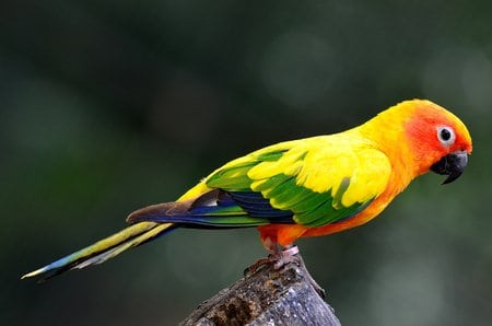 Sun conure (Aratinga solstitialis) the lovely yellow parrot perching on the log showing its back feathers