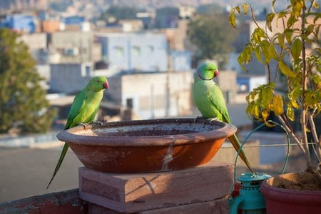 A pair of Rose-ringed Parakeets perched on a bird bath on a rooftop in Jodhpur, Rajasthan, India