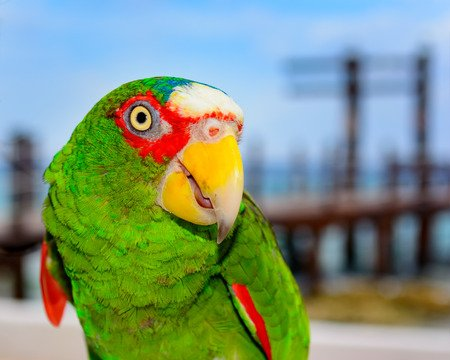 Spectacled or White-Fronted Amazon Parrot Poses for the camera.
