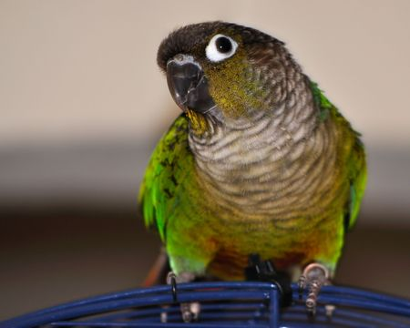 Green cheek conure parrot on top of blue cage against an off-white background