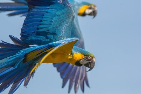How far can a parrot fly?