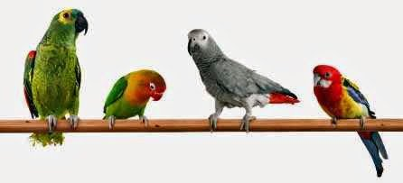 Amazon Live bird African Grey and rosella parrot on one perch