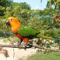 Jenday conure on branch