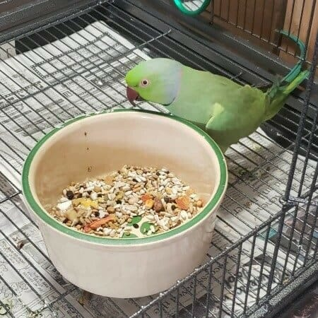 African ringneck with large ceramic food dish on bottom of birdcage