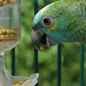 blue fron amazon eating pellets from a mechanical bird toy