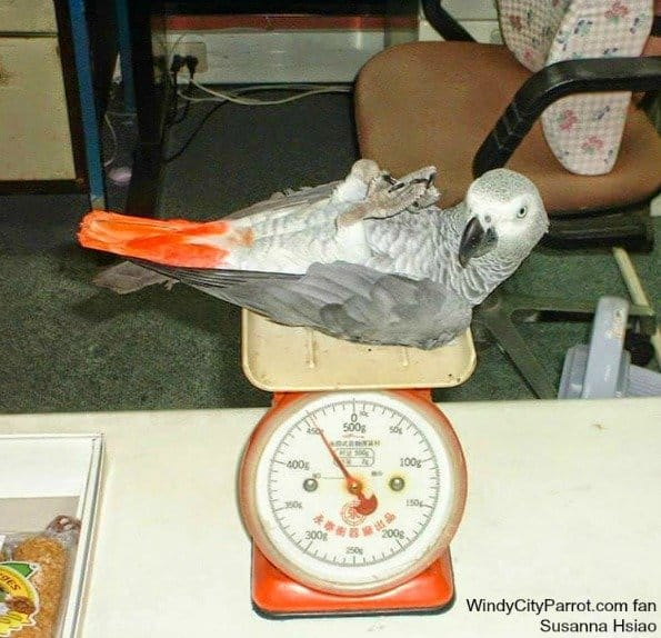 african grey parrot on back on old food scale