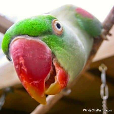 close up alexeandrine's parrrots beak
