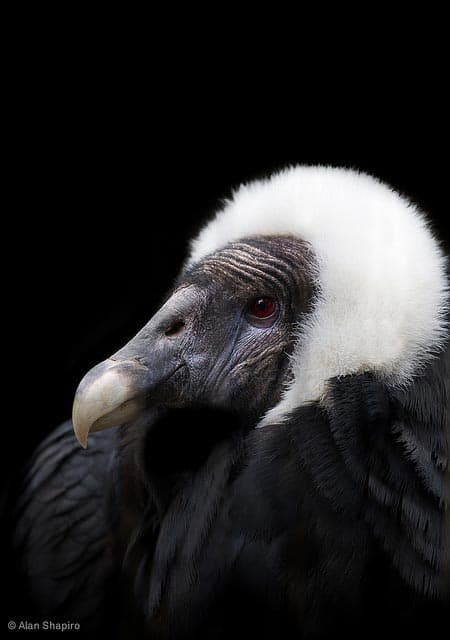 Learning About Condors & Vultures