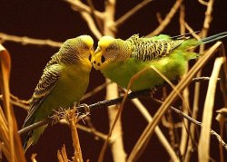 2 green budgies beaking