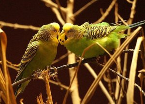 How Do I Reduce My Male Budgies Aggression?