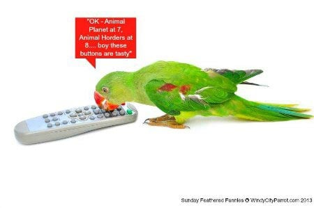 Parrot eating remote control