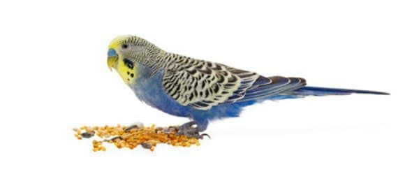 budgie isolated on white back ground eating seeds