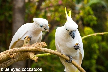 2 blue eyed cockatoos on branch in foresr
