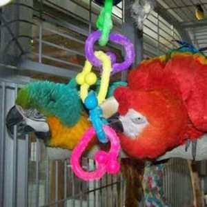 2 macaw parrot playing on plastic chompin chain