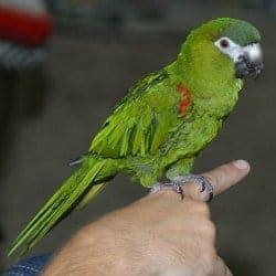 Mini Macaw