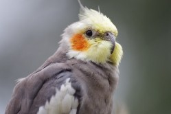 close up of fluffed up cockatiel
