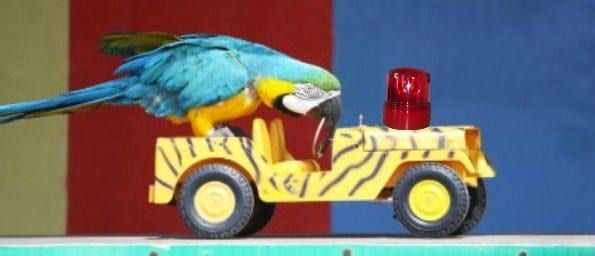 blue & gold macaw on toy jeep with ambulance light