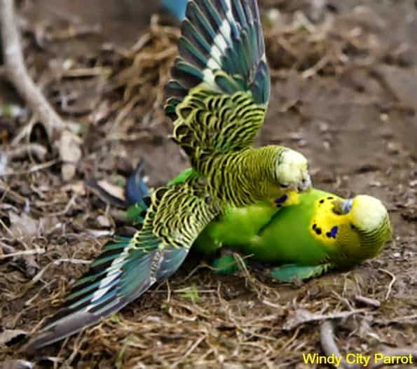 one budgie on top of another budgie on it's back - fighting