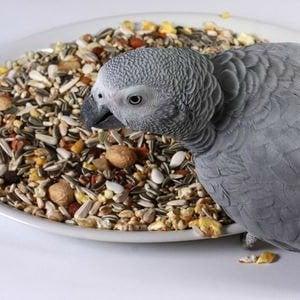 African Grey Food