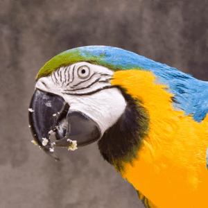 Large Macaw