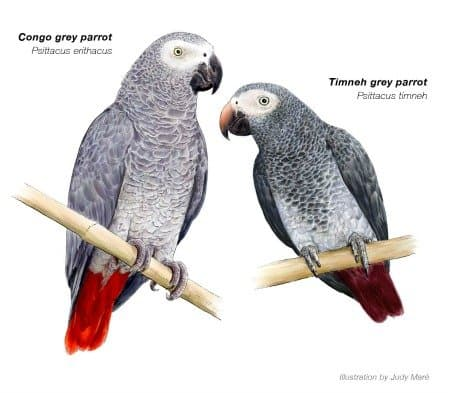 The Ultimate Guide To How are African Grey Parrots to Keep as Pets