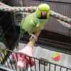 African ringneck on JW Pet Activitoy for Small Birds Wood Perch Bolt On - Small