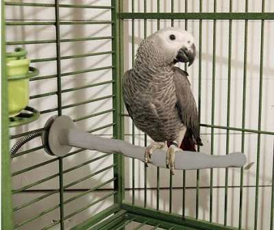 african grey parrot on thermo perch