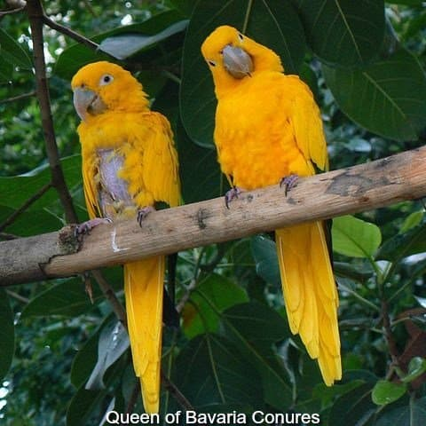 2 Queen of Bavaria Conures one with a feather plucked chest