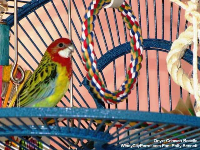 Rosella parakeet in bird cage with booda soft rope swing