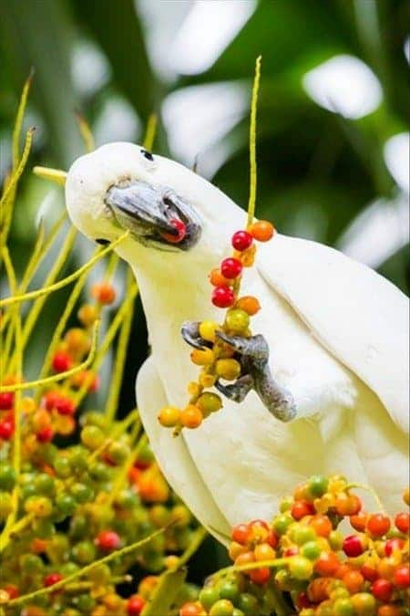 sulfur crested cockatoo eating berries in the wild