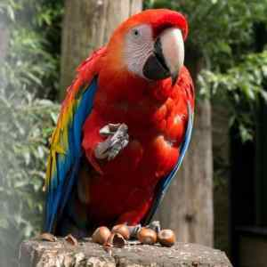 Scarlet macaw eating nuts on a tree stump