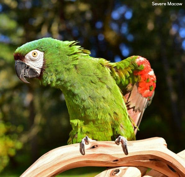 sever macaw parrot