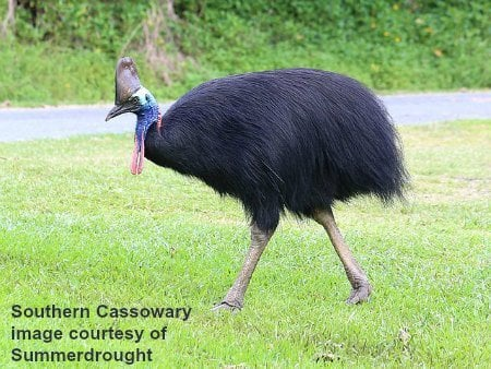 Southern_Cassowary image by Summerdrought