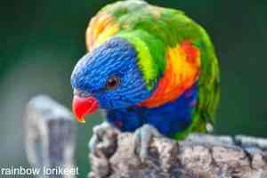 Short Circuit from love to attack behavior with my rainbow lory recently