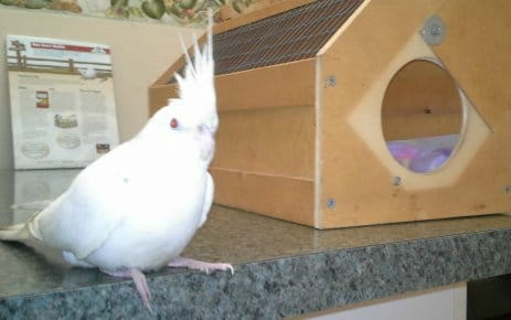 popcorn white cocktiel next to carrier in vets office