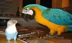 perruche et perroquet