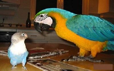petite perruche inséparable et grand perroquet Ararauna