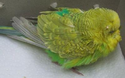 Mal de ponte chez l'oiseau (rétention d'œuf)