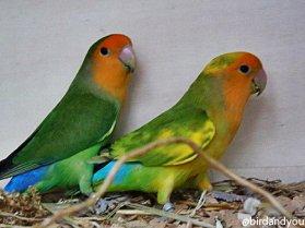 Inséparable reseicollis vert et panaché (masque orange)