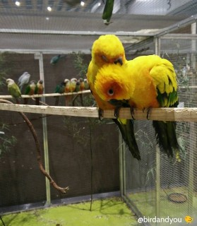 couple conure soleil bird and you 101 compagnons