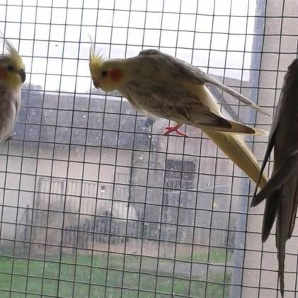 calopsitte panach%C3%A9e opaline cinamon birdandyou - Cockatiel mutations: summary and sexing